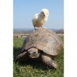A chick and tortoise that are the best of friends
