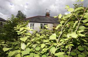 Joe Halford in his garden with Japanese Knotweed, Brierley Hill, West Midlands.