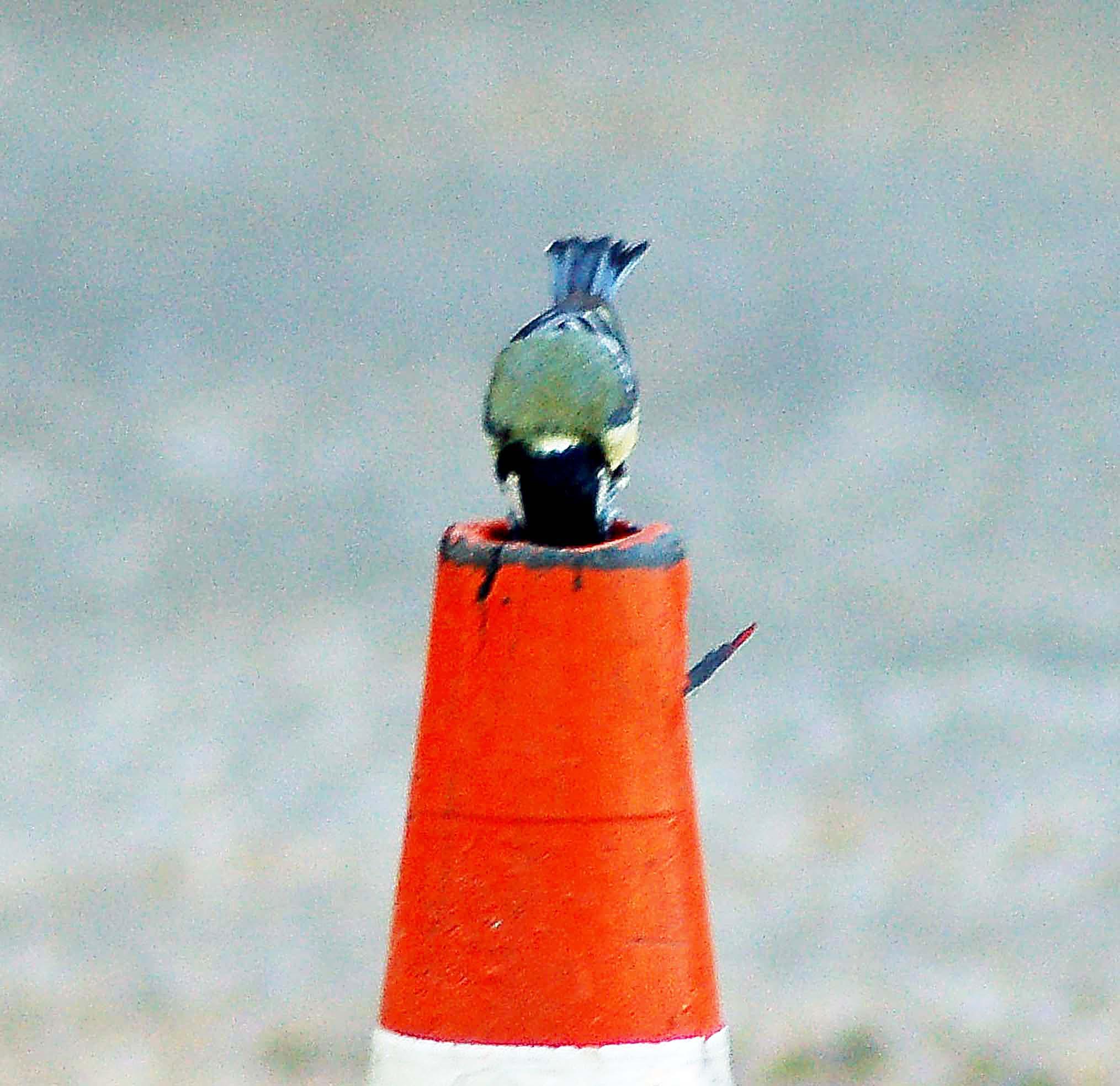 Birds make home in a traffic cone