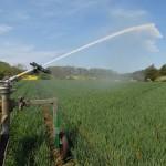 Farmers irrigate a field of wheat