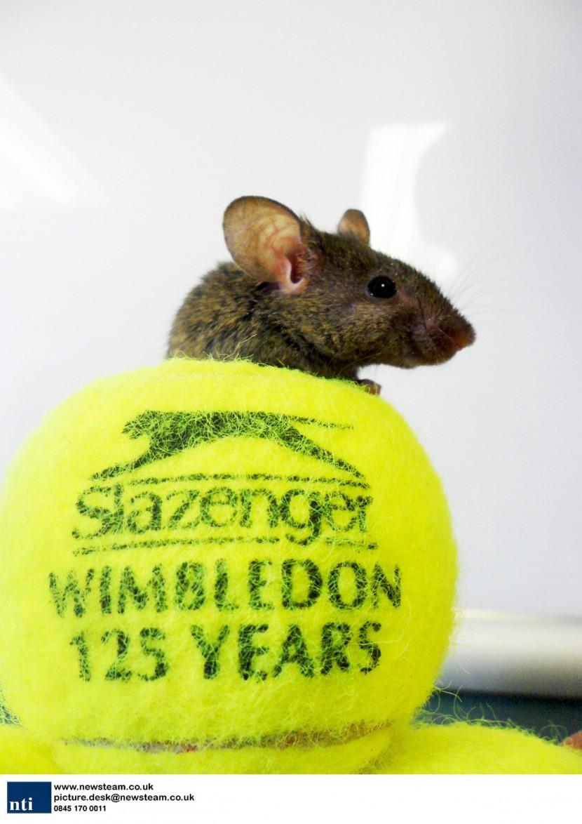 Mice make home in Wimbledon tennis balls