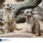 Meerkats produce three tiny kits at a UK Safari Park.