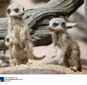 Meerkats produce three tiny kits at a UK Safari Park.