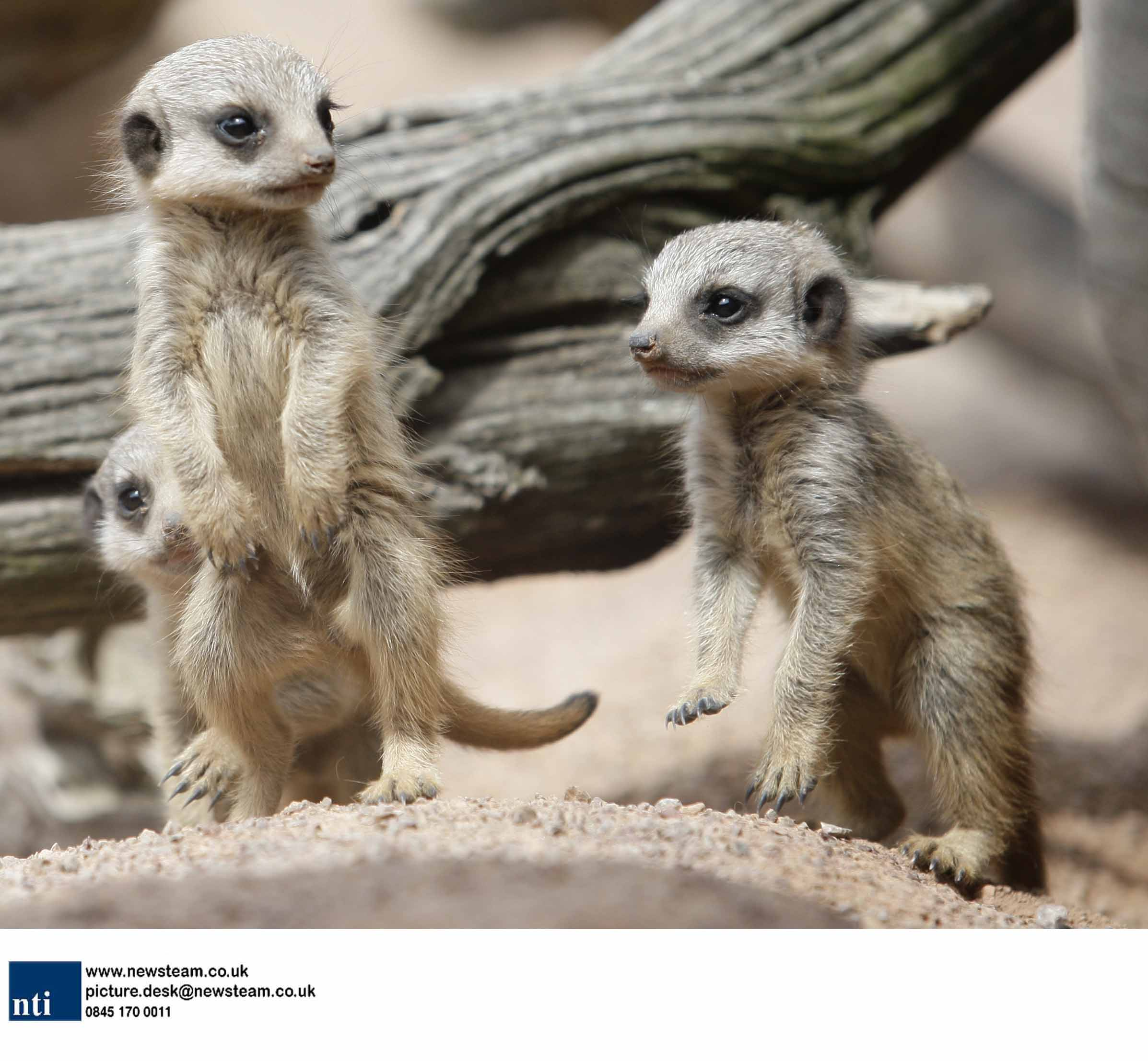 Baby meerkats born at West Midlands Safari Park