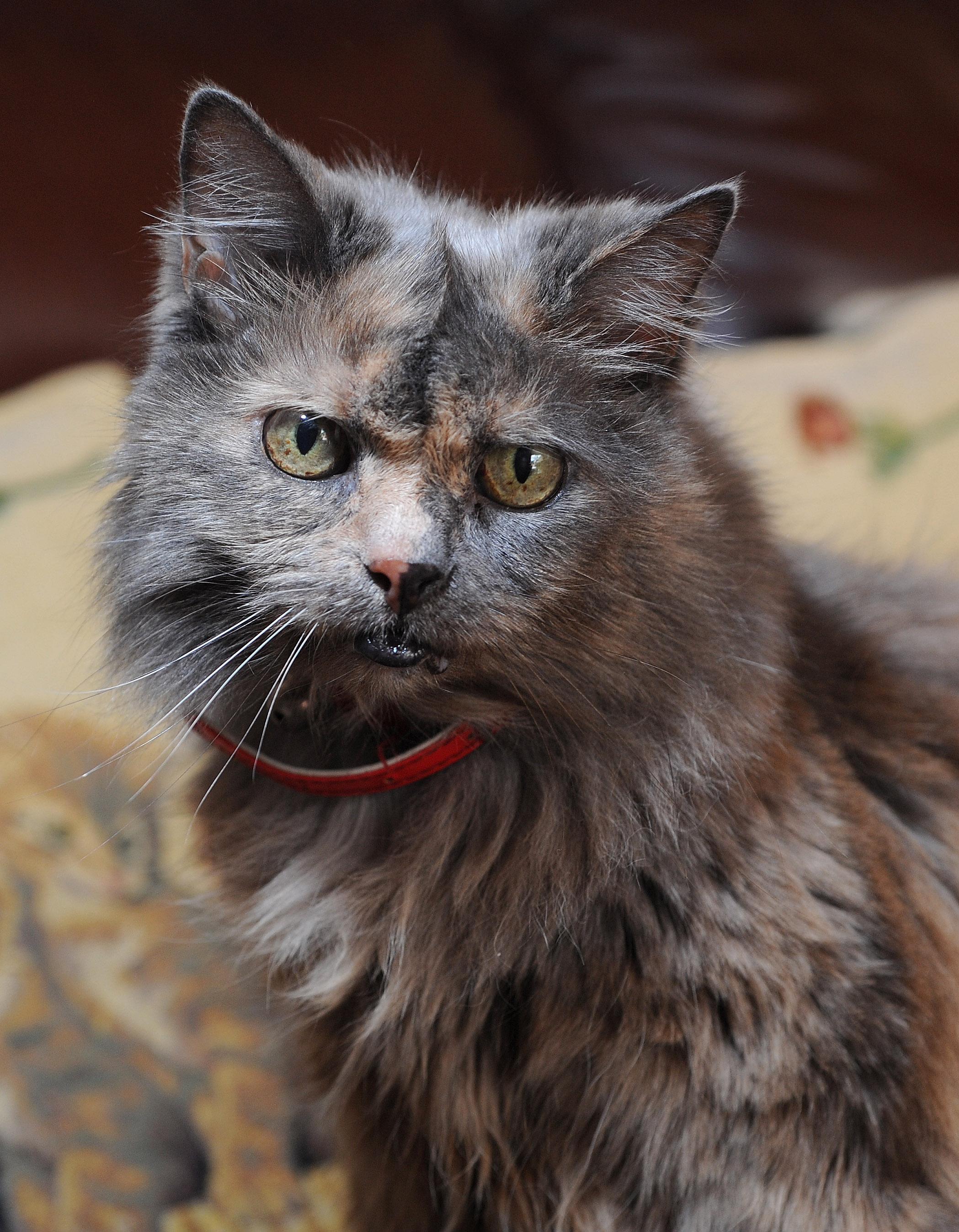 burmese cat photos