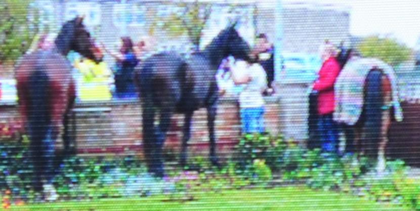 Lollipop lady helps stampeding horses cross the road