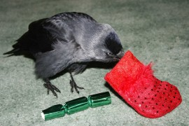 Jackdaw that has baths and has hair blow-dried!