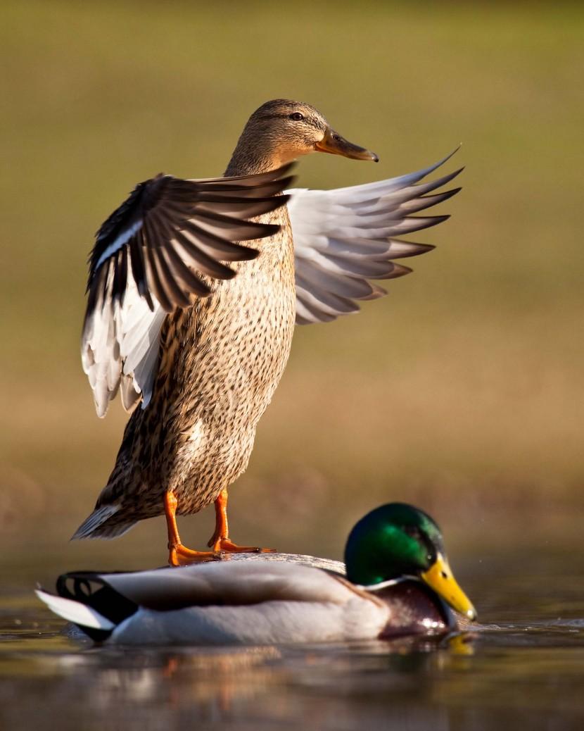 Surfing ducks