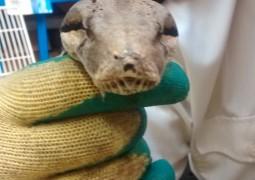 Boa: Photo courtesy of the RSPCA