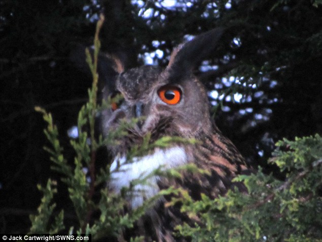 MAN CLAIMS 'TERROR OWL' ATTACKED HIM AS HE WAS BALD