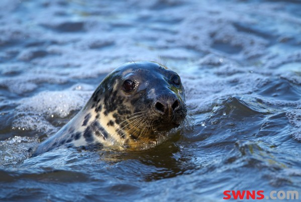 SEAL RESCUED FROM SCOTTISH BEACH AFTER BECOMING TANGLED IN NET