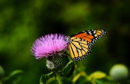 SECRET TO BUTTERFLY MIGRATION REVEALED
