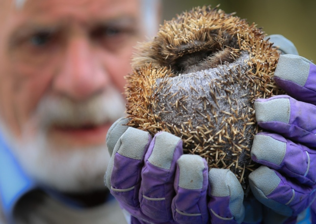 spineless hedgehog rescued is eating for england