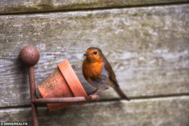 STUNNING ROBIN PICTURES BY SECRET SNAPPER CHOSEN TO BE USED BY RSPB