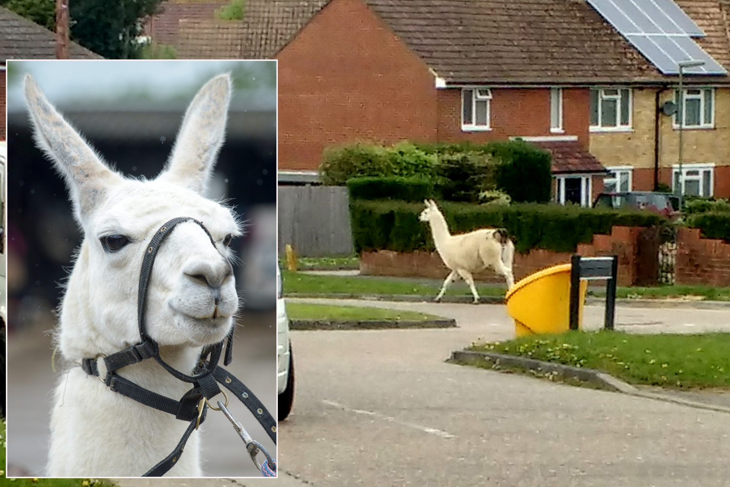 WOMAN RUGBY-TACKLED ESCAPED LLAMA CALLED BRAD PITT