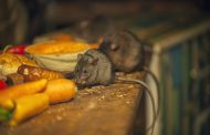 COUNCIL THREATENS TO SHUT DOWN HOUSE BECAUSE OF RATS