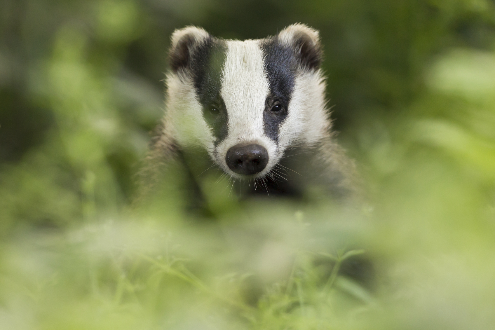 FOUR SENTENCED FOR BADGER BAITING