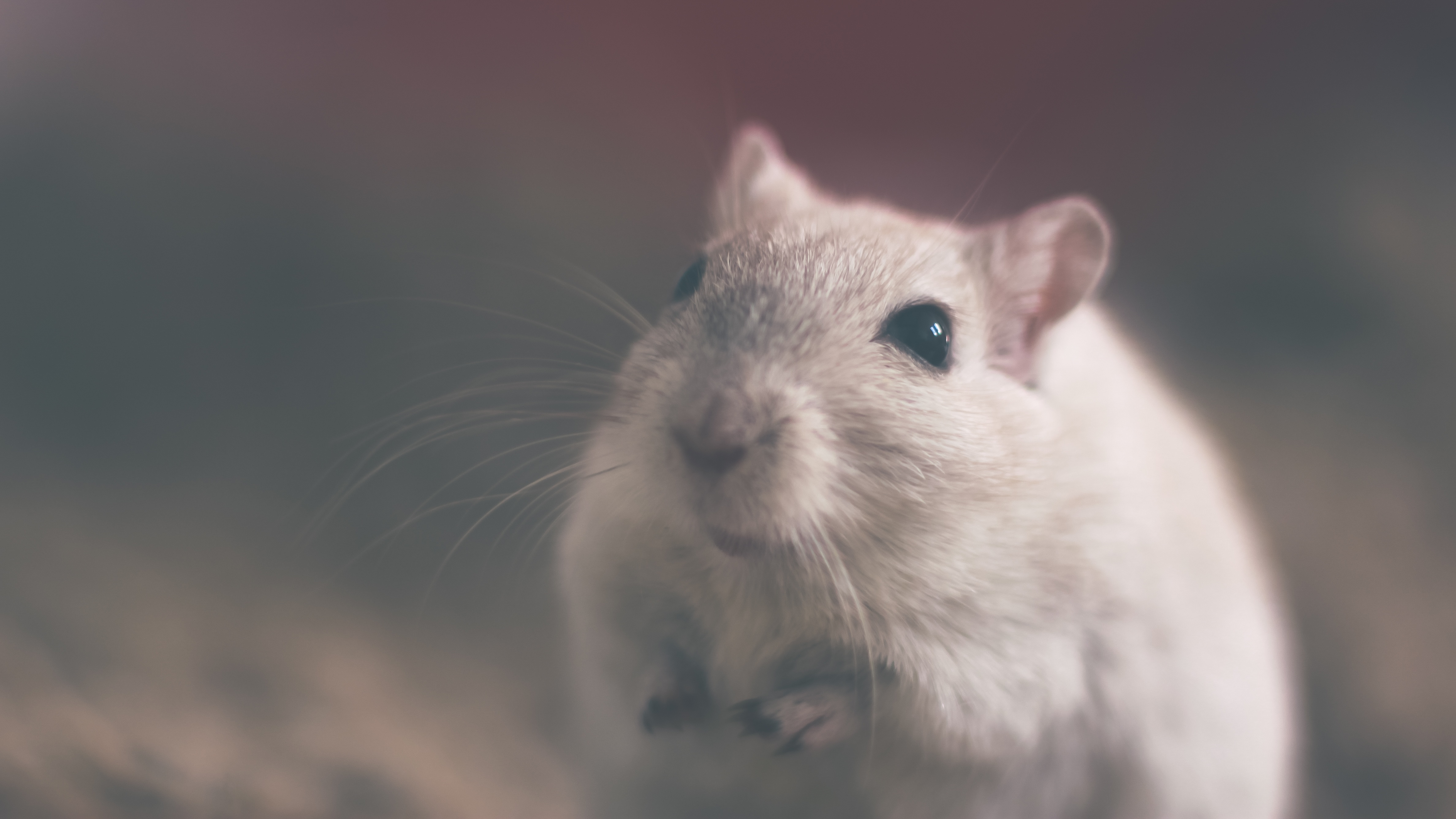 SUPER MICE THAT SNIFF OUT LANDMINES