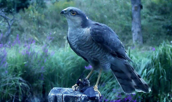 Sparrowhawk eating bat