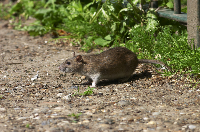 Fat brown rat