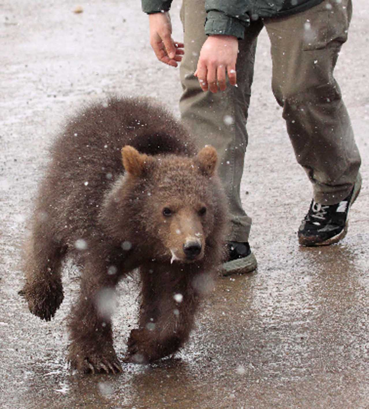 Lone bear cub rescued from wild