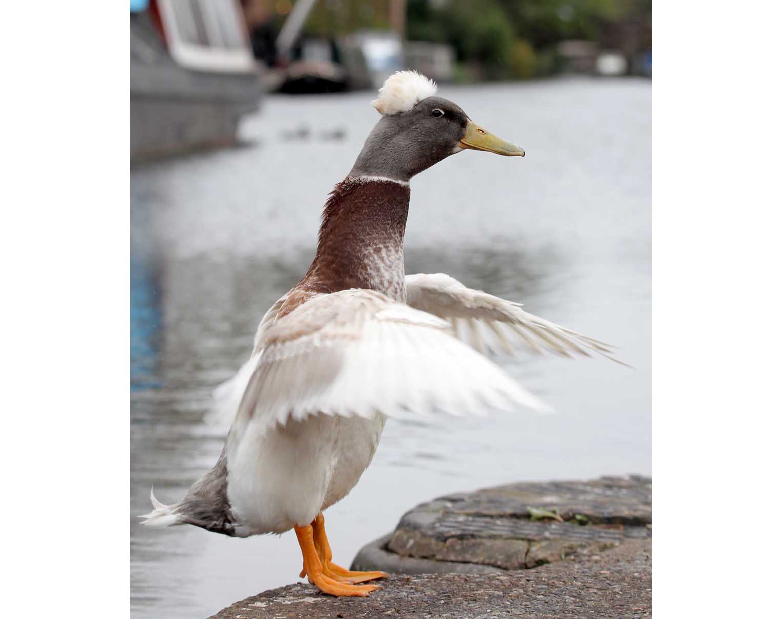 Punk Duck