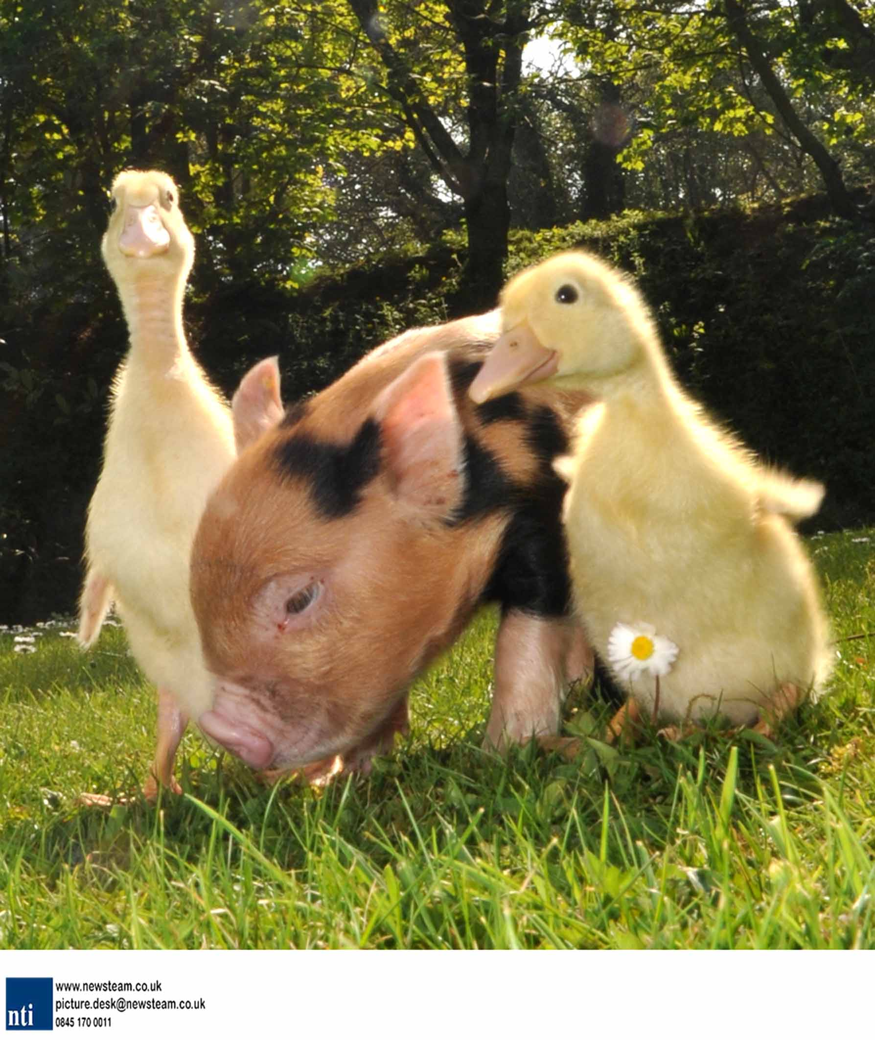 Pig that thinks its a duck