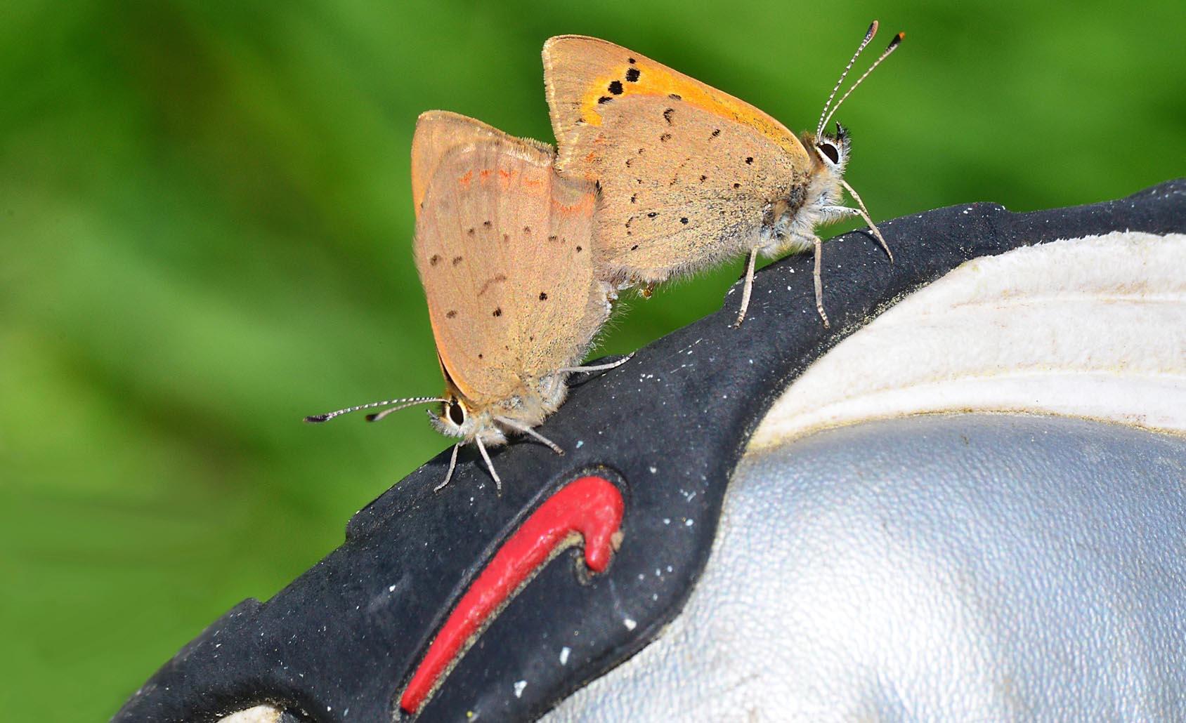 Mating butterflies just do it