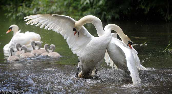 Swan fight on the River Sow