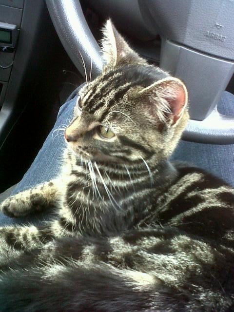 Kitten survies 20-mile journey under bonnet