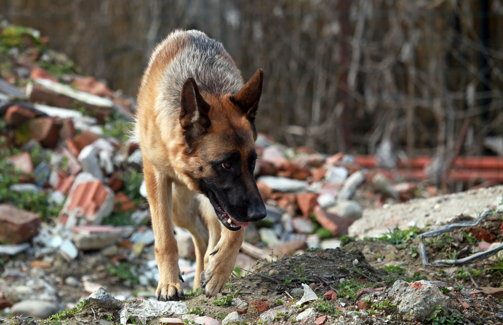 Dangerous dog laws 'woefully inadequate'