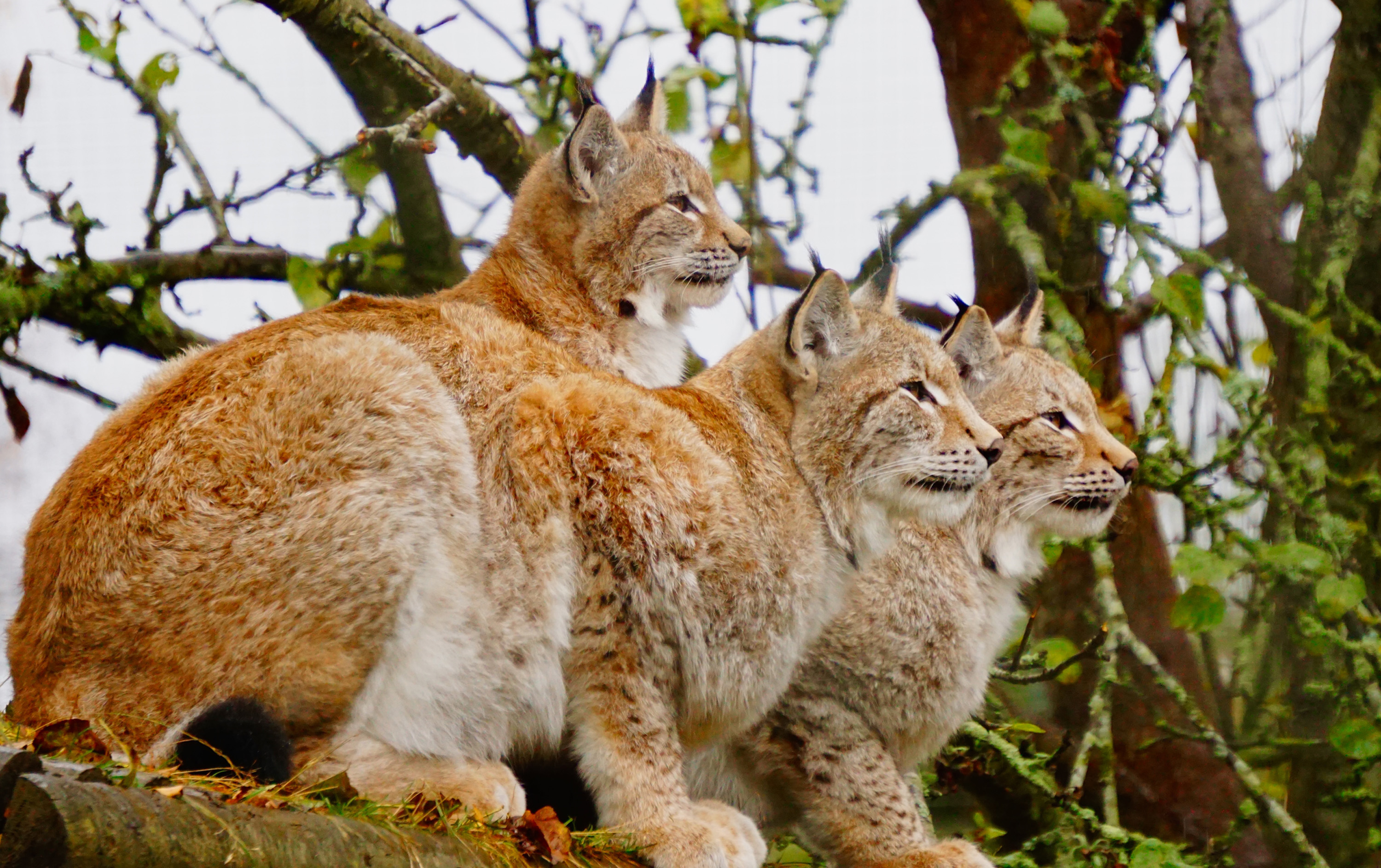 Purrfect lynx triplets treble in size