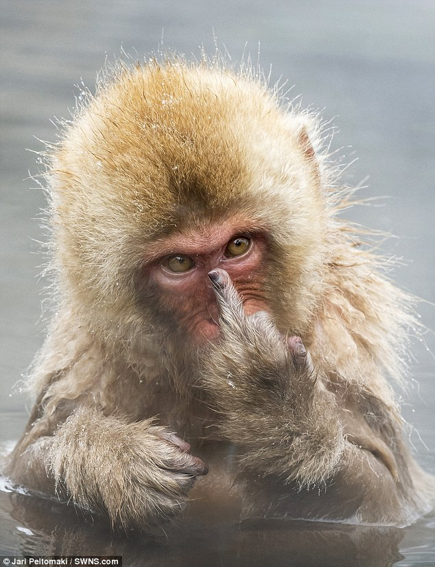CHEEKY MONKEY PUTS MIDDLE FINGER UP AT THE CAMERA