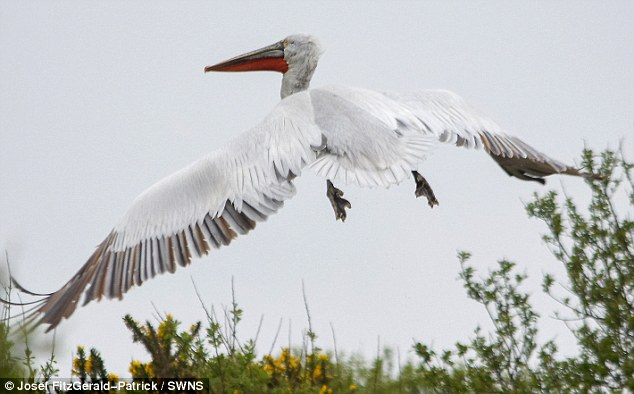 HUGE GIANT PELICAN SEEN IN UK FOR FIRST TIME IN CENTURIES