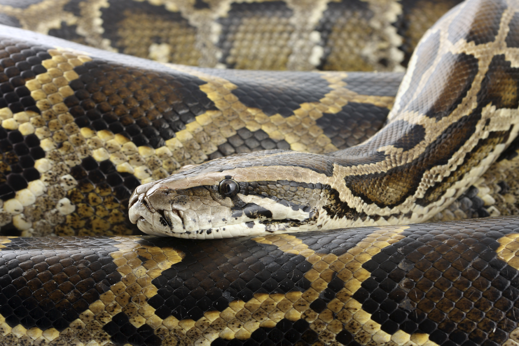 PYTHON GOES MISSING IN GLOUCESTER