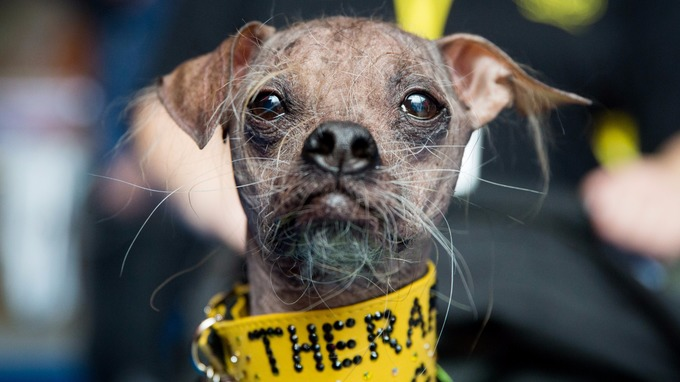 WORLD'S UGLIEST DOG WINS AWARD FOR BEING A HERO