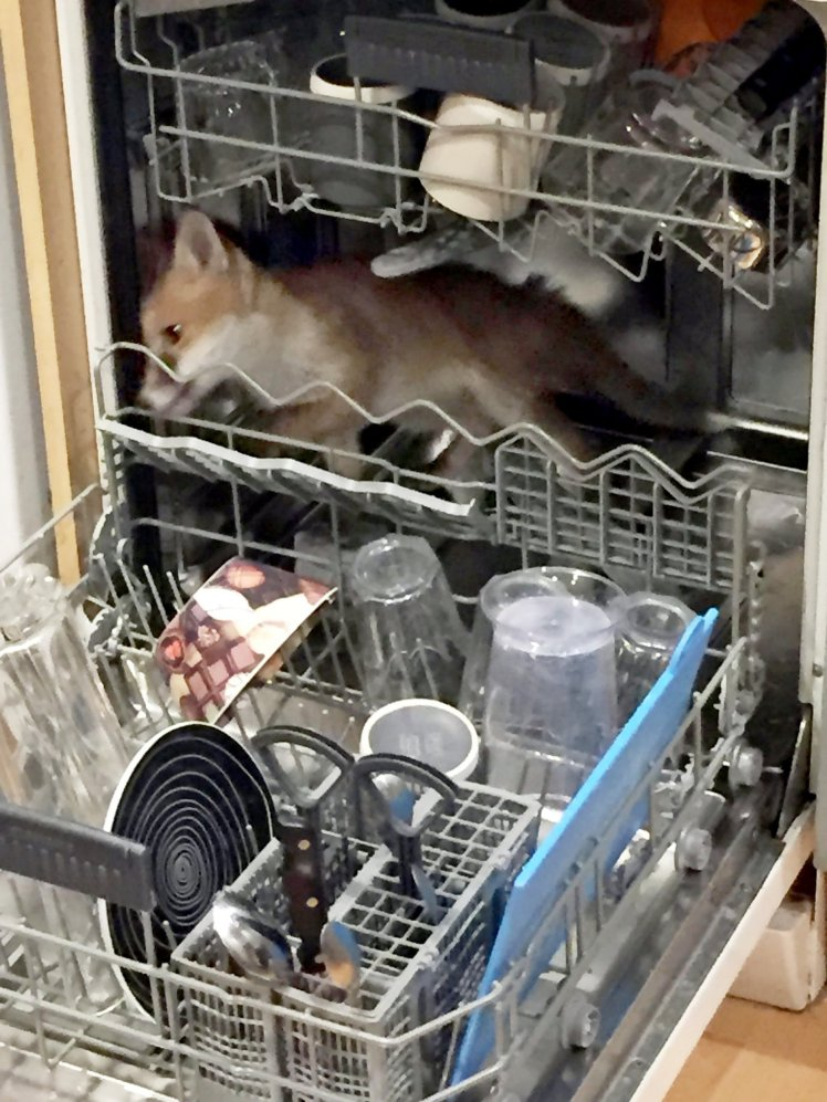 FATHER STUNNED TO FIND FOX TRAPPED IN DISHWASHER