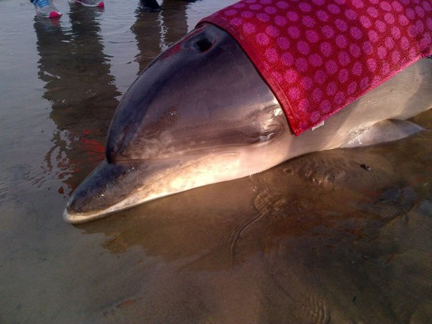 TOUCHING PICTURES SHOW DOLPHIN WRAPPED IN TOWELS DURING RESCUE