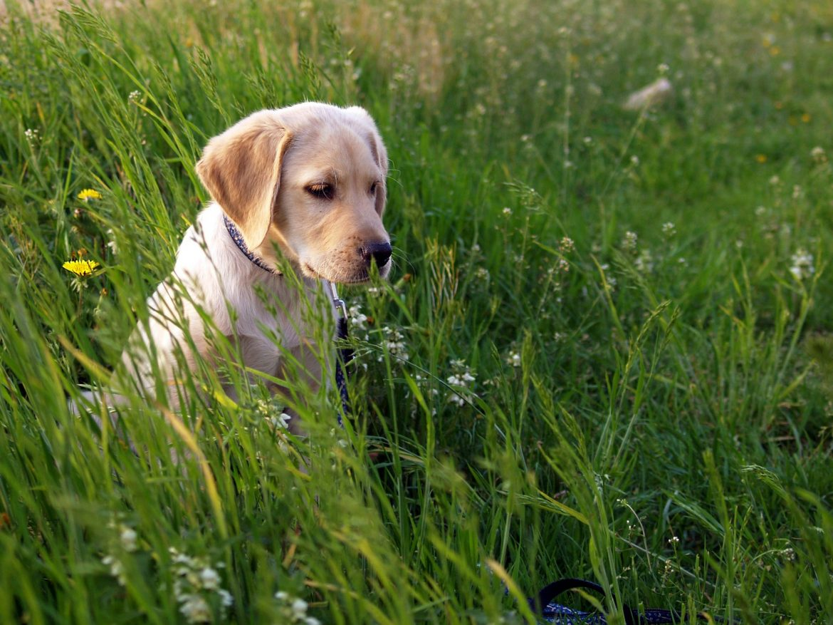Getting a Labrador Puppy: Important Factors to Consider