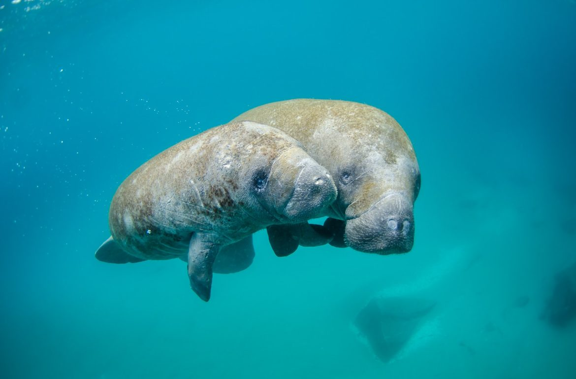 Taking Inspiration from SeaWorld to Make Manatee Rescue a Global Effort